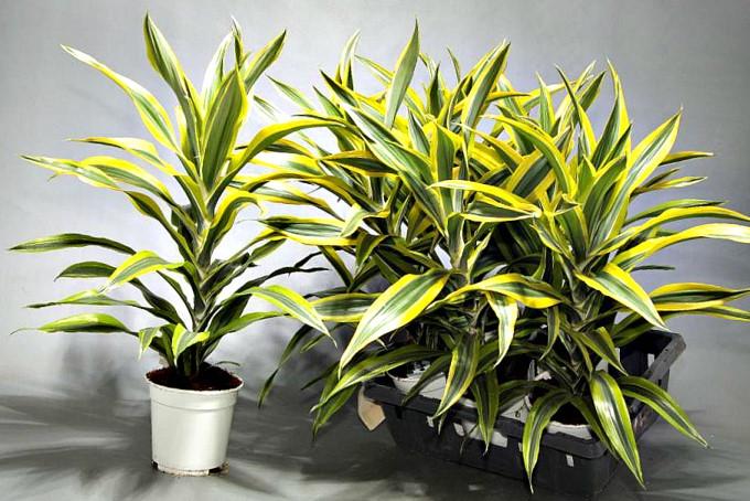 Древесные комнатные растения: драцена