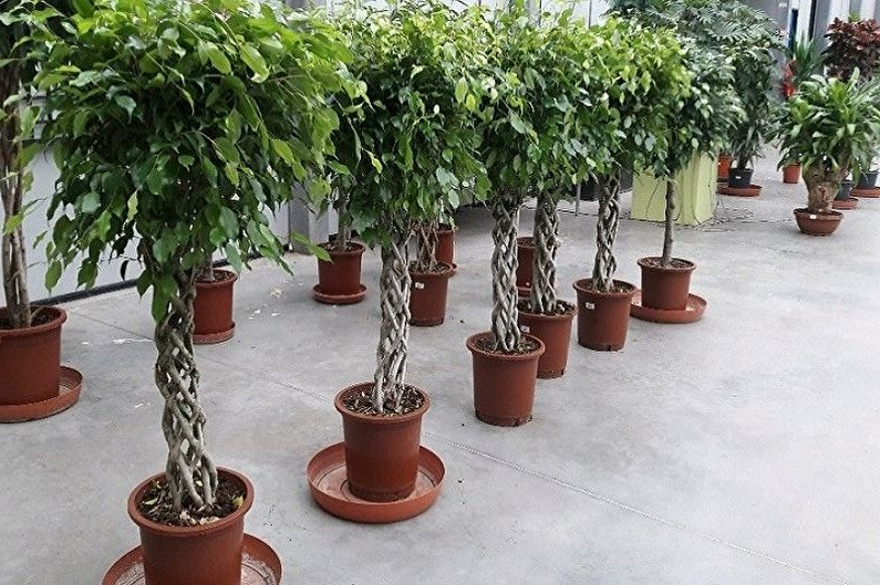 Древесные комнатные растения фикус бенджамина