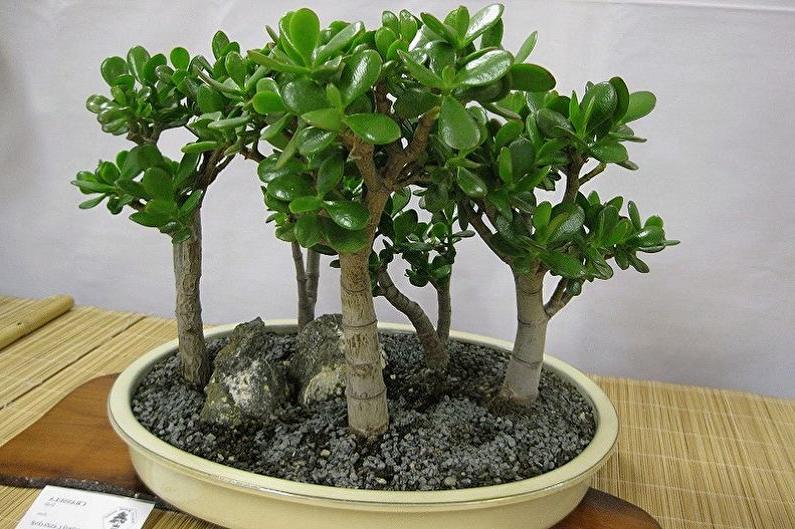Древесные комнатные растения толстянка