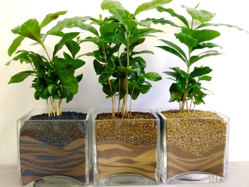 древесные комнатные растения Кофейное дерево