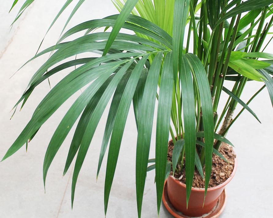 древесные комнатные растения ховея