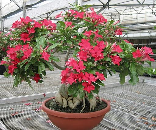 древесные комнатные растения Гибискус, китайская роза