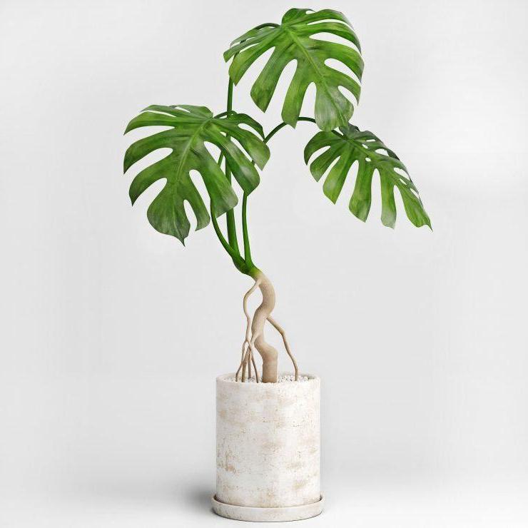 древесное комнатное растение монстера