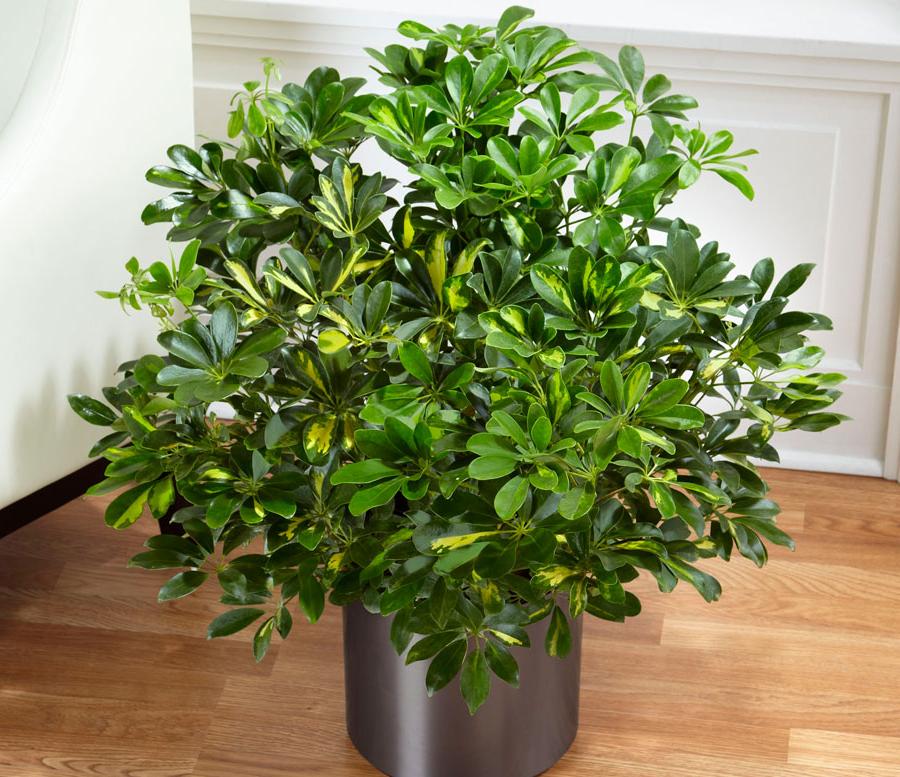 древесное комнатное растение Шеффлера