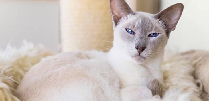 Топ-7 гипоаллергенных пород кошек для аллергиков и астматиков