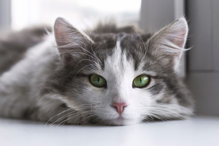 Топ-7 гипоаллергенных пород кошек для аллергиков и асматиков